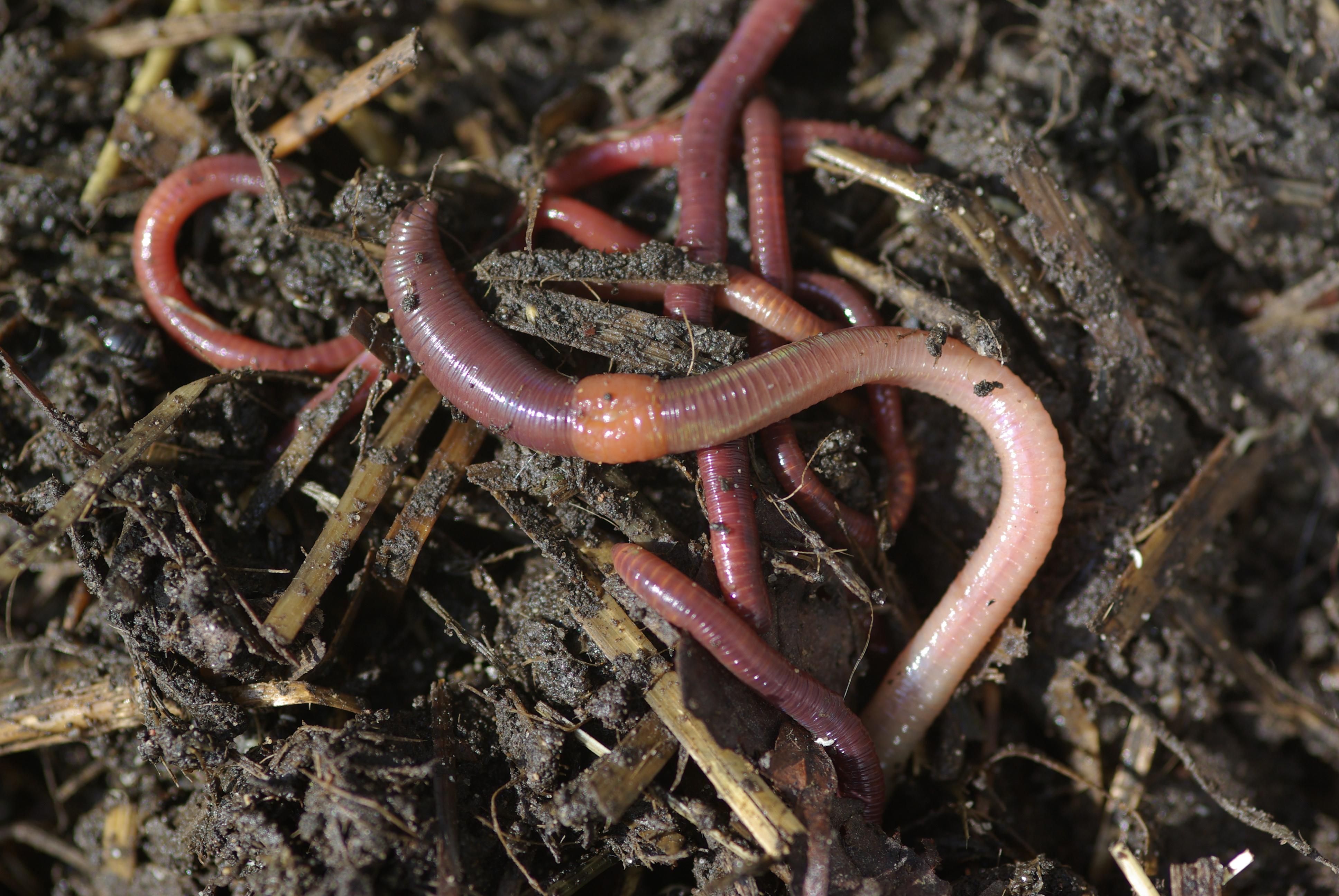 Die Behandlung bei die Würmer lumbricoides