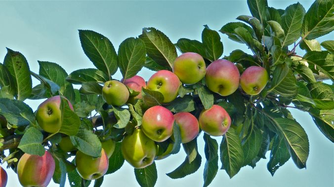 Apfellast