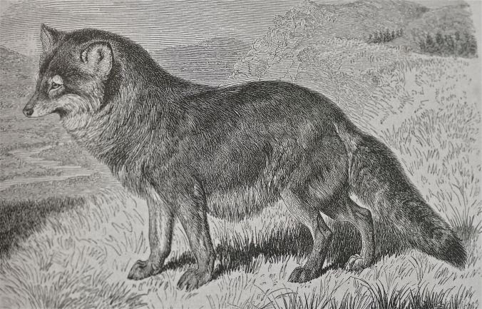 Heulwolf, Brehm