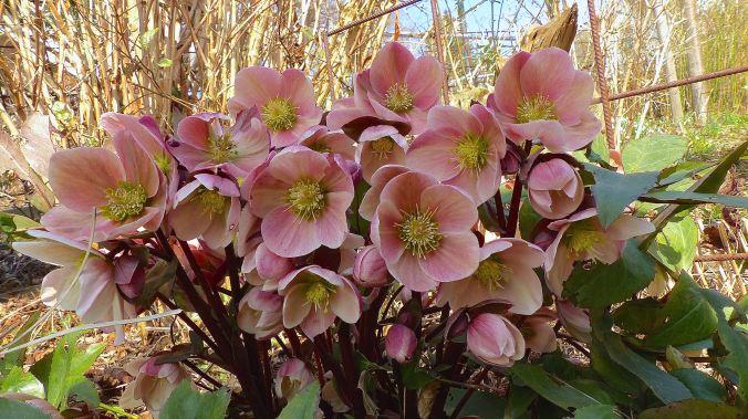 Lenzrosenblüte
