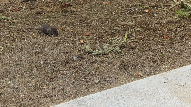 Rattenkind