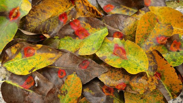 Birnenblätter